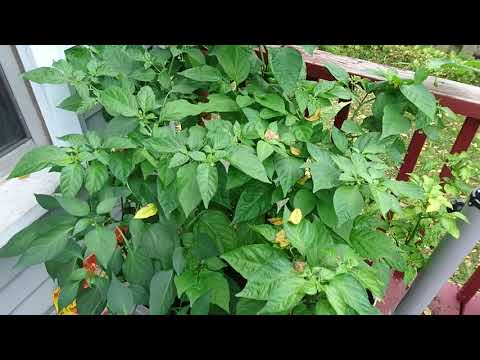 Growing Scotch Bonnet and Jalapeno Peppers during Climate Change in Southwestern Ontario Canada