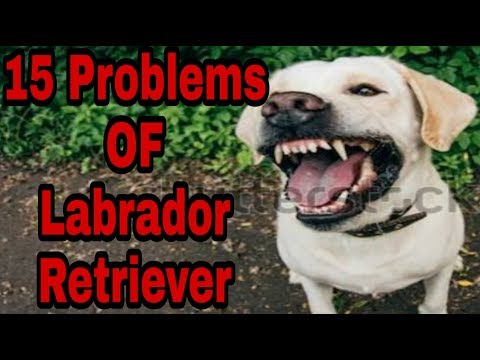 15 Problems OF Labrador Retriever in hindi. - Dogs Biography