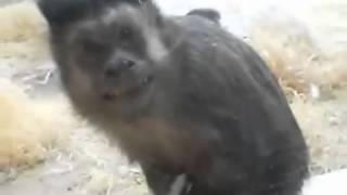 Смешные обезьяны  Funny Monkey  Страшно смешная