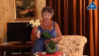 видео Чтобы Орхидея зацвела  To orchid blossom