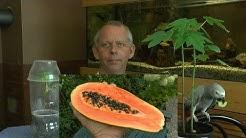 Papaya vom Samen zur Pflanze ganz einfach heranziehen