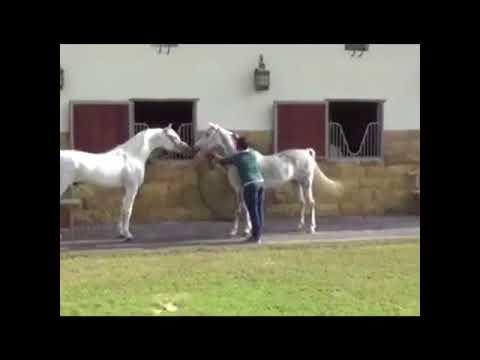 بحر الوعب الحصان العربي Bahar al waab
