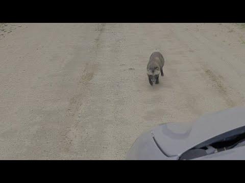Ярославская область: Енотовидная собака напала на автомобилиста