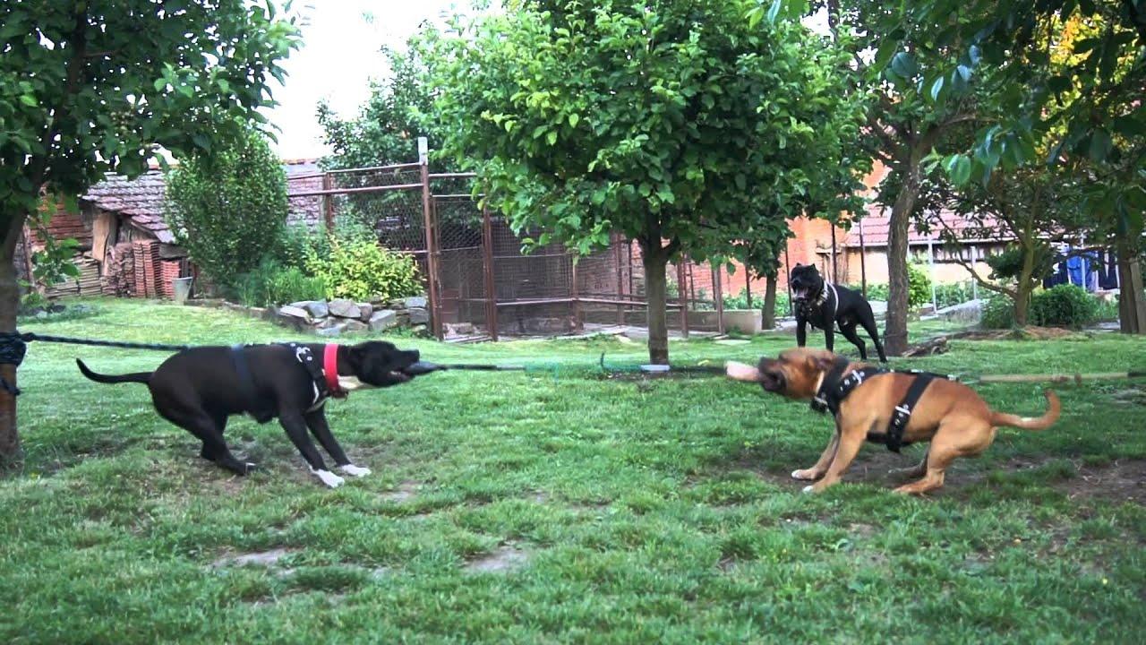 American pitbull terrier - Staffordshire bull terrier - YouTube