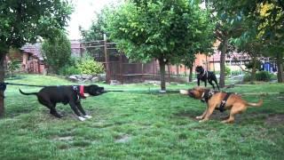 American Pitbull Terrier - Staffordshire Bull Terrier