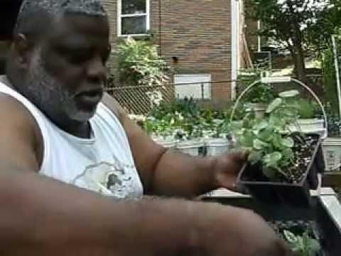Transplanting Clemson Spineless Okra Youtube
