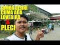 Cuma Pleci Dan Lovebird Aja Yang Lomba Disini Ngisi Liburan Maen Ke Lomba Burung Di Kota Orang  Mp3 - Mp4 Download