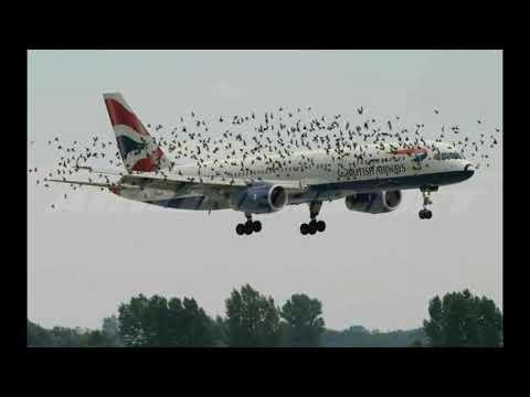 pesawat British Airways diserang burung pemakan bangkai di China
