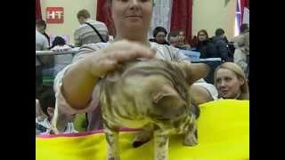 В Великом Новгороде прошла международная выставка кошек