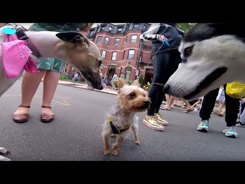 Peacemaker Terrier helps Siberian Husky and Italian Greyhound getting along