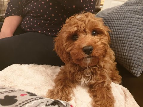 Enzo - 14 Week Old Cavapoo Puppy - 3 Weeks Intensive Board and Train Course