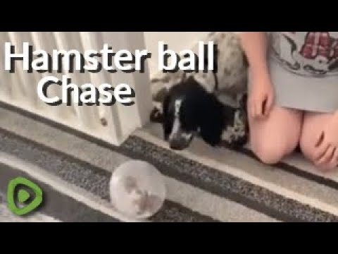 How this Spinal reacts to a hamster in a ball will guarantee to make you laugh