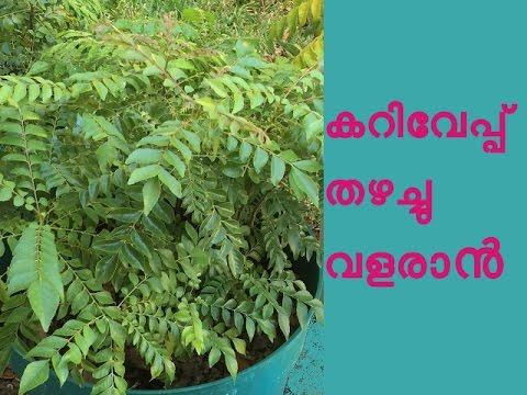 കറിവേപ്പില തഴച്ചു വളരാൻ Curry Leaves Cultivation Tips