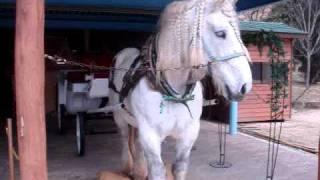世界最大級の馬、フランス原産の「ペルシュロン種」のバロンくんです。...