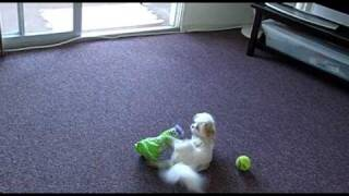 White Fluffy Dog Tries To Impregnate Her Stuffed Animal Friend - Is that Doggystyle? Doggy Porn.