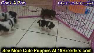 Cock A Poo, Puppies, For, Sale, In, Baton Rouge, Louisiana, La, Minden, West Monroe, Luling, Crowley