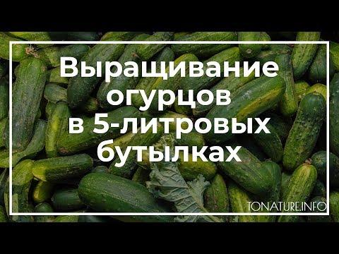 Как посадить огурцы в 5 литровых бутылках видео
