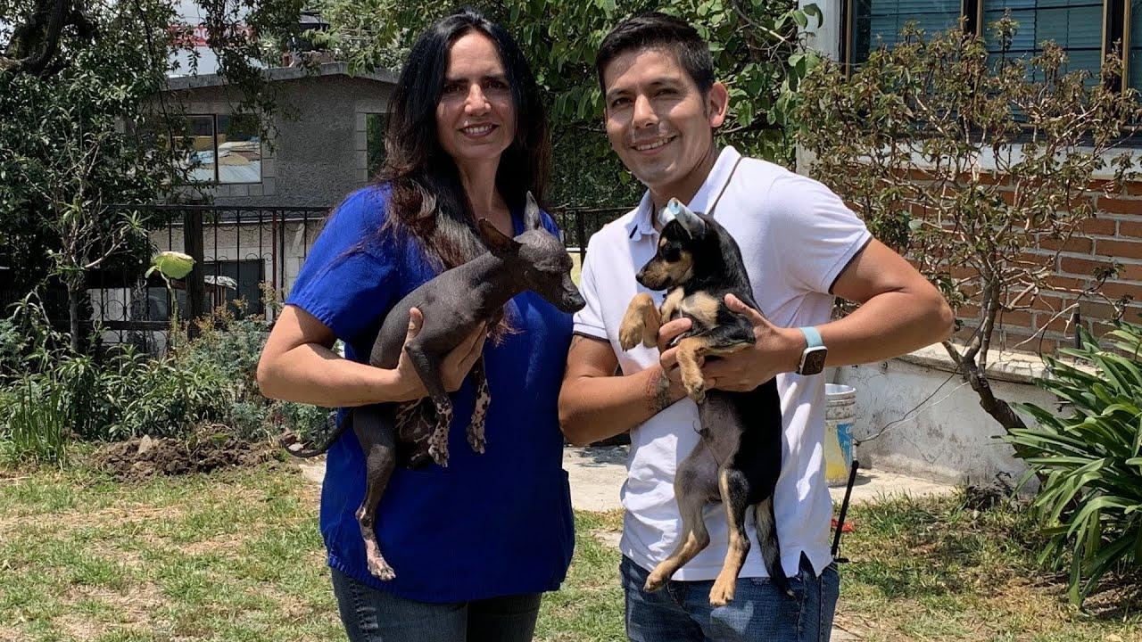 Recibí un Xoloitzcuintle miniatura | Perro Azteca, aquí recomendaciones sobre sus cuidados.