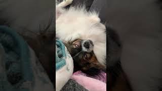 Dreaming Papillon Dog  #papillondog #funnydog #zwergspaniel
