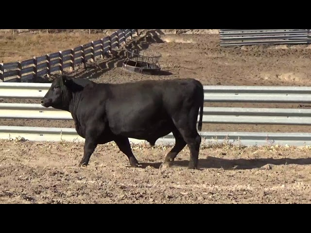 Connealy Angus Lot 205
