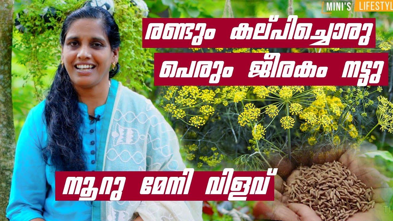 പെരും ജീരകം നട്ടു നൂറു മേനി വിളവ് | Perum Jeerakam Krishi Malayalam | Caraway farming