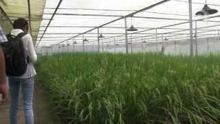 GMO debate for Golden Rice