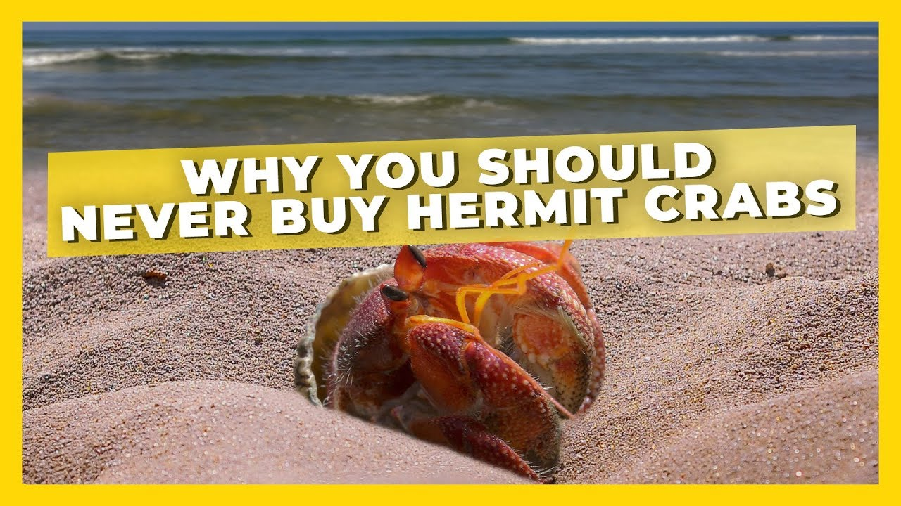 why you should never buy hermit crabs youtube