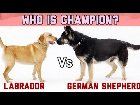 German shepherd VS Labrador in Hindi | Dog Comparison | Which one is best?