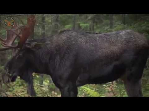 Awesome moose hunting compilation