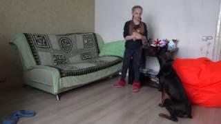 Собачьи команды от девочки и добермана / The girl commands dobermann