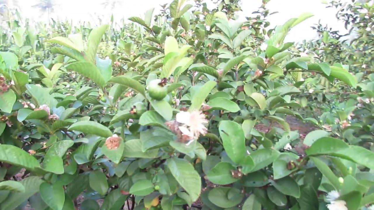 Taiwan Pink Guava Clonal Plants  9949614751,9494665252  Surendra Vv 07:46 HD