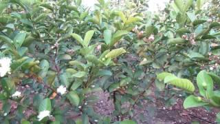 Video Taiwan pink guava clonal plants .9949614751,9494665252 download MP3, 3GP, MP4, WEBM, AVI, FLV Juli 2018