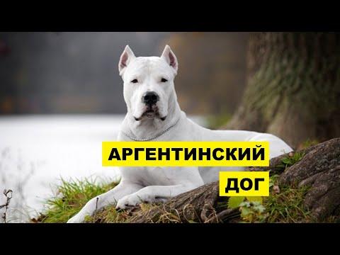 Аргентинский дог описание плюсы и минусы породы   Собаководство   Порода собак аргентинский дог