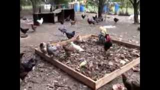 Chicken run compost box