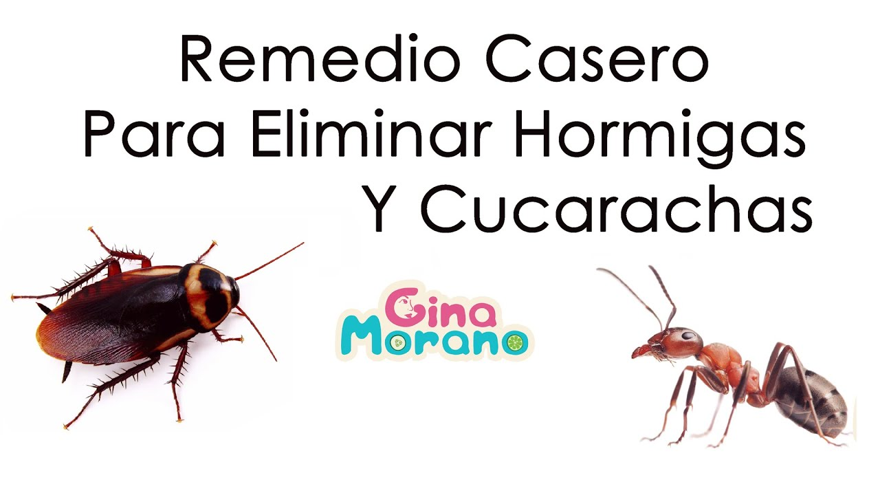 Remedio casero para eliminar hormigas y cucarachas youtube - Remedios caseros para eliminar hormigas en casa ...