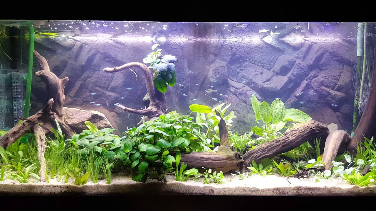 my 240 liter planted tank with 60 cardinal tetra 39 s youtube. Black Bedroom Furniture Sets. Home Design Ideas