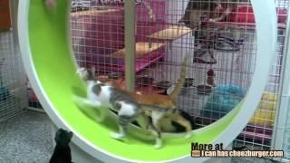 Целое стадо котов и кошек бегает в колесе