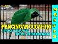 Pancingan Cucak Ijo Full Tembakan Variasi Suara Masteran Super Juara Nasional  Mp3 - Mp4 Download