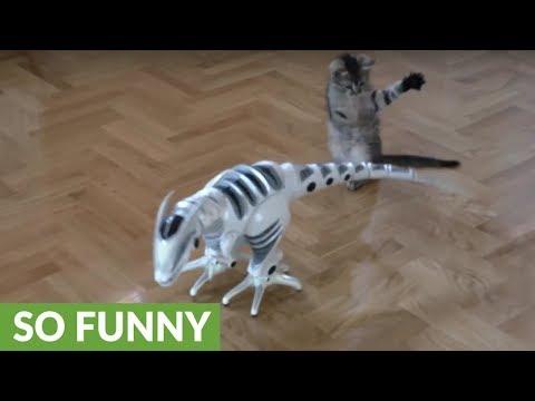 Playful kitten takes on remote control dinosaur
