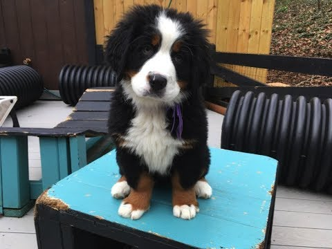 11 Week Old Lucy- Bernese Mountain Dog