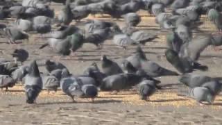 Люди любят голубей, голуби Индии.