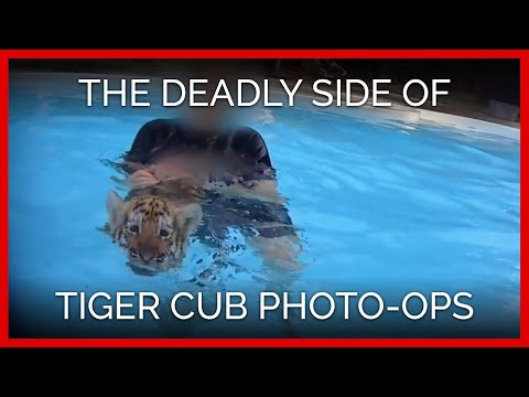 The Deadly Side of Tiger Cub Photo-Ops