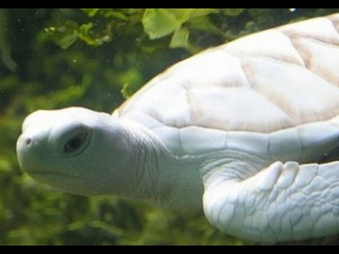 Гигантская белая черепаха. Аквария КЛСС