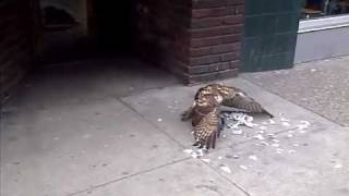 ▄ █ Aggressive Redtail Hawk Eats Pigeon Alive in Front of Crowd!!! █ ▄