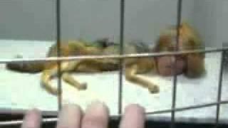 فيديو البنت التي تنقلب الى حيوان وبيان كذبه