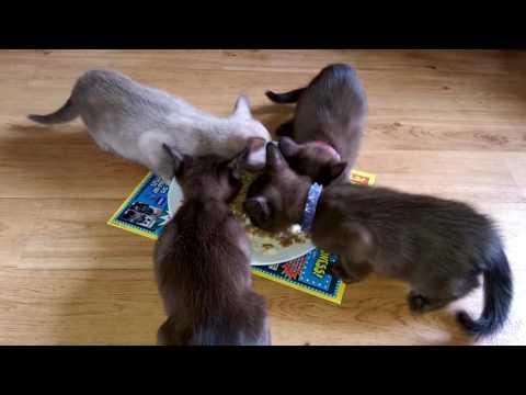 KITTYS DIN DIN WEENING NOM NOM EATING BURMESE KITTENS