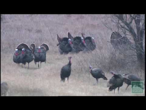 Turkey Trapping, Tagging, and Research - Texas Parks and Wildlife [Official]