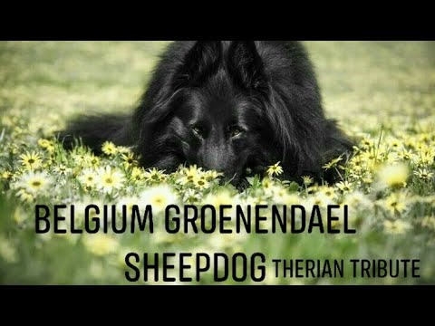 Belgium Groenendael Sheepdog Therian Tribute