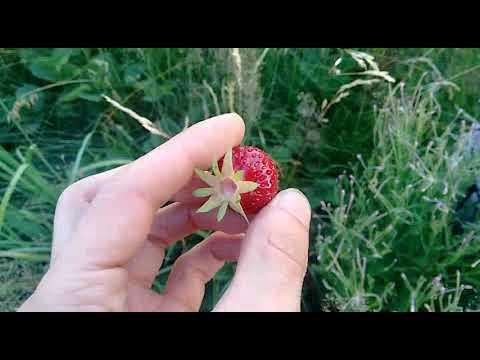 erdbeeren-naturrichtig-anbauen---permakultur