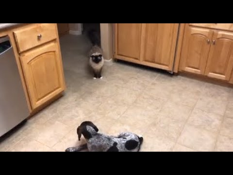14-Year Old Ragdoll Cat Caymus and German Shorthaired Pointer Puppy Tayto - Floppycats